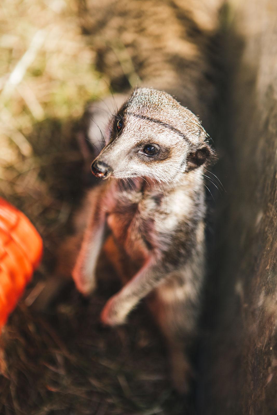 Amazing Animals - Meercat